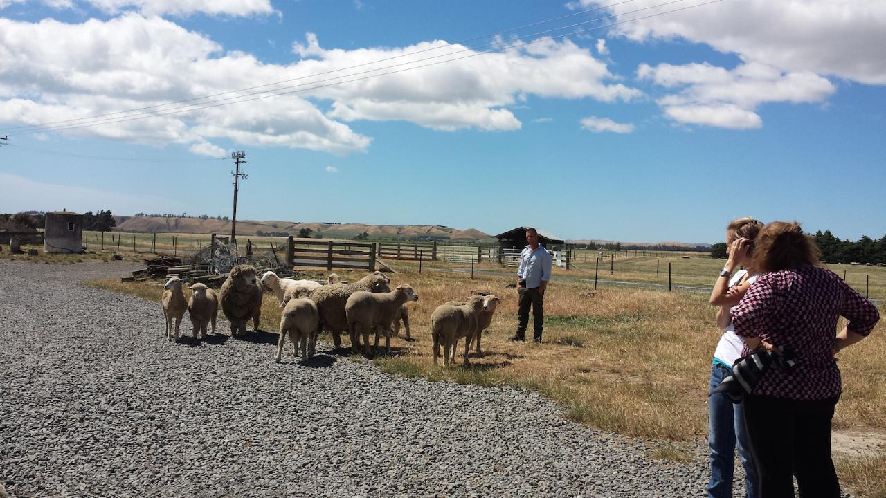 Farmer with a small group of sheep explaining stock management to tourists